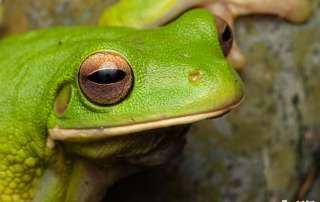 White-lipped Tree Frog Let's Go Buggin Night Walk