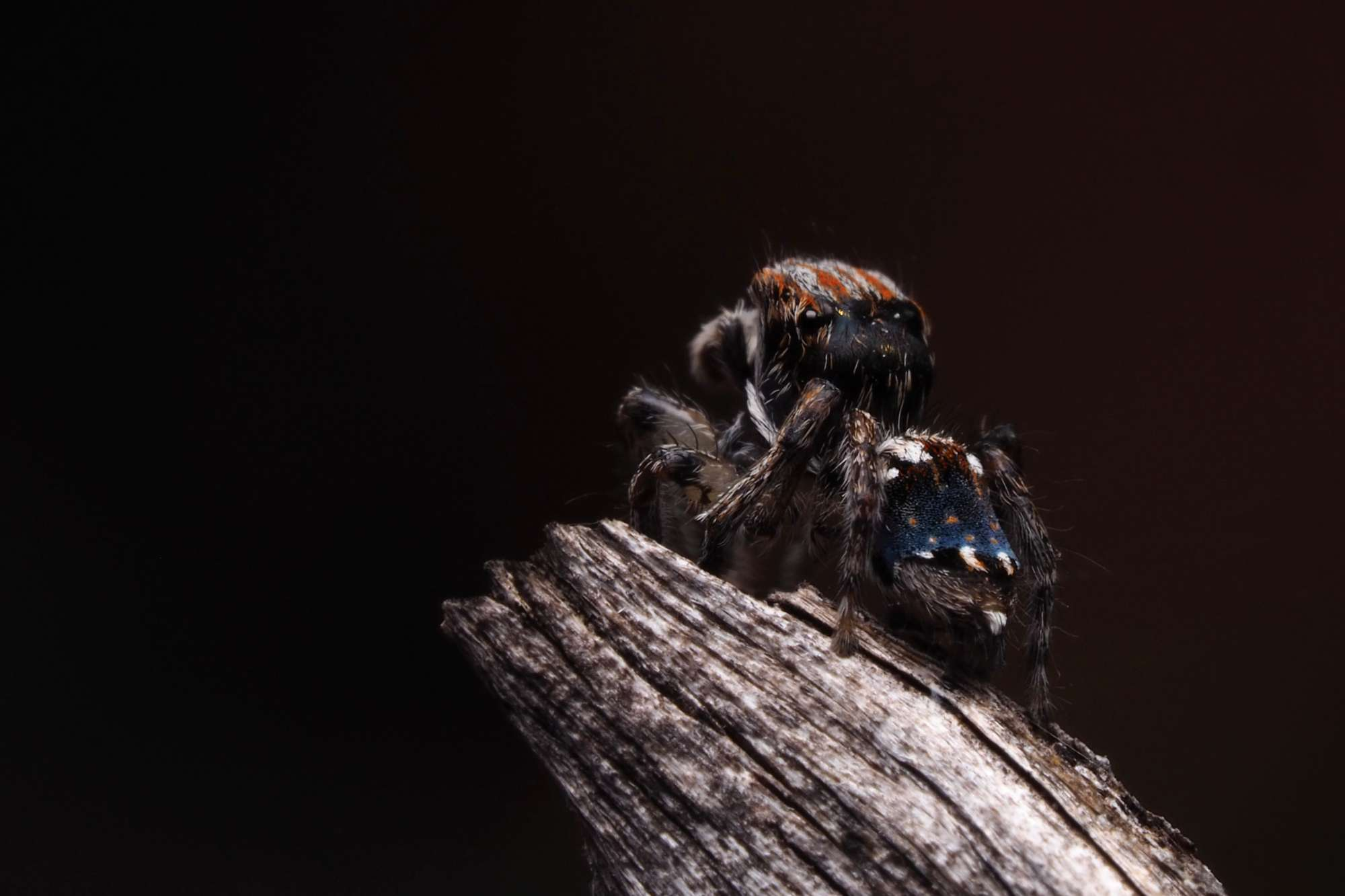 Peacock Spider Maratus australis Look Closer with Dr. Mat