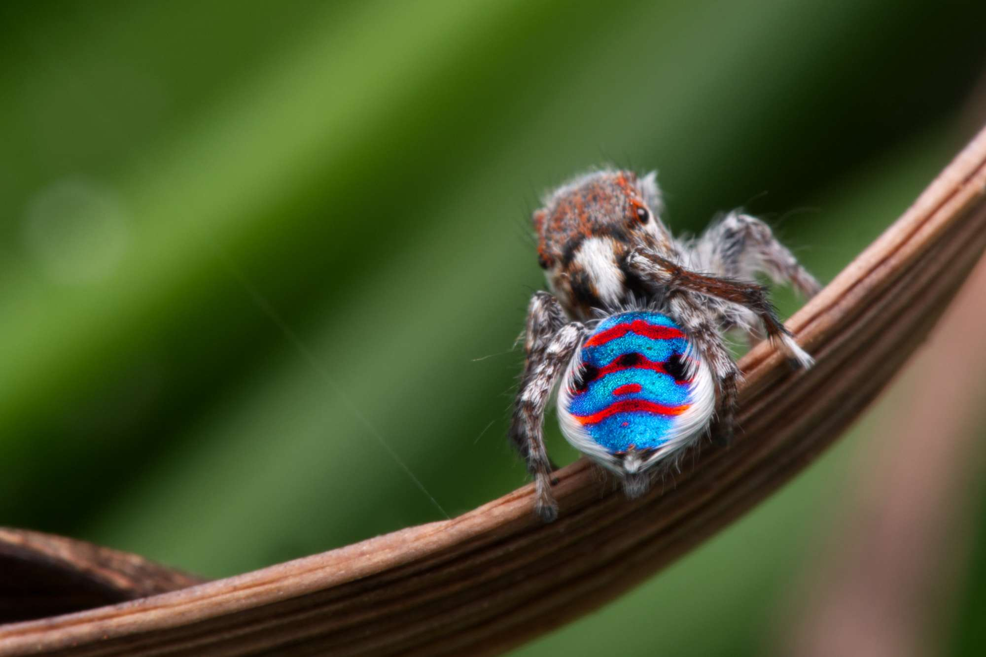Peacock Spider Maratus speciosus Look Closer with Dr. Mat