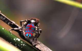 Maratus bubo Peacock Spider Look Closer