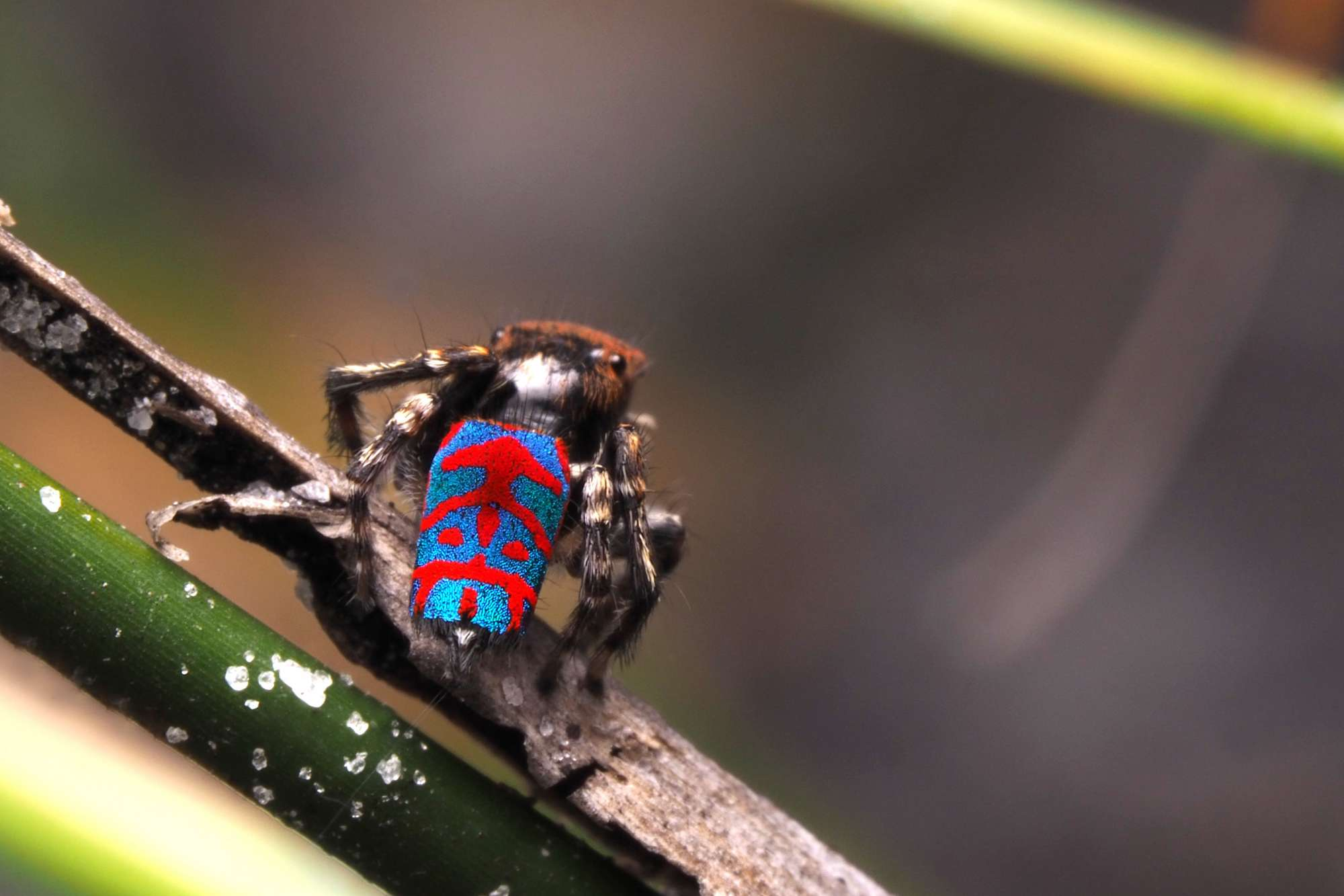 Maratus bubo Peacock Spider Look Closer