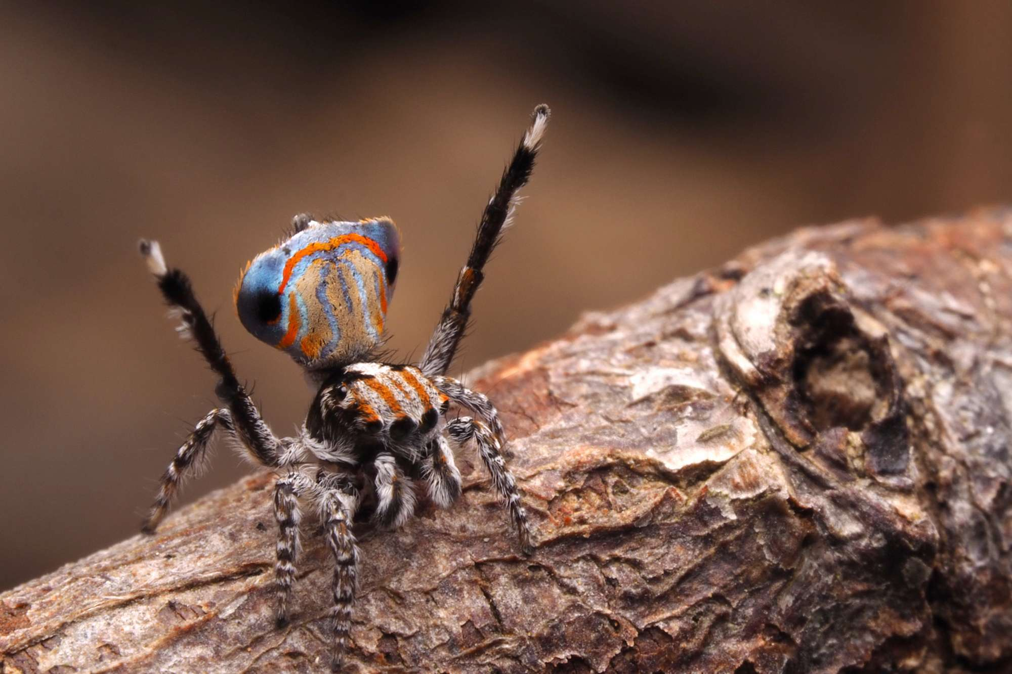 Maratus australis Look Closer Dr. Mat Blog