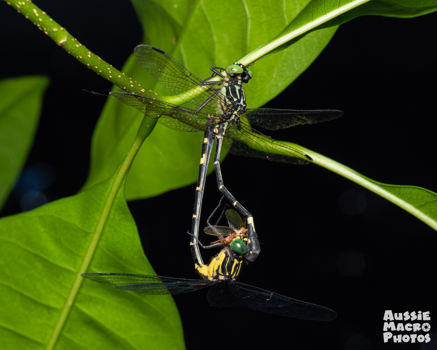 Mating Dragonflies on Let's Go Buggin Tours