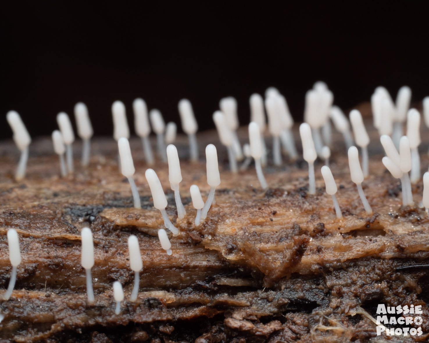 Miniature lifeforms in the shape of batons slime mould Cairns Mushroom Photography