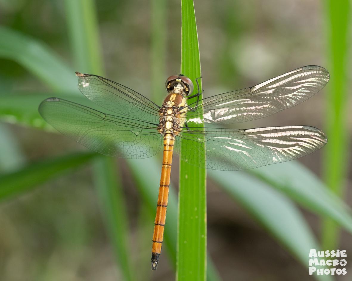 Orange Dragonfly on Let's Go Buggin Tours