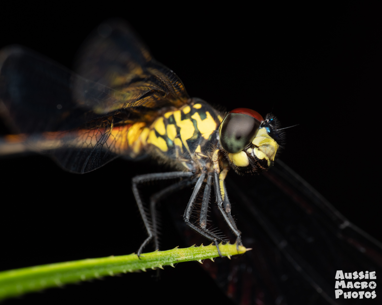 Closeup of Dragonfly on Let's Go Buggin Tours