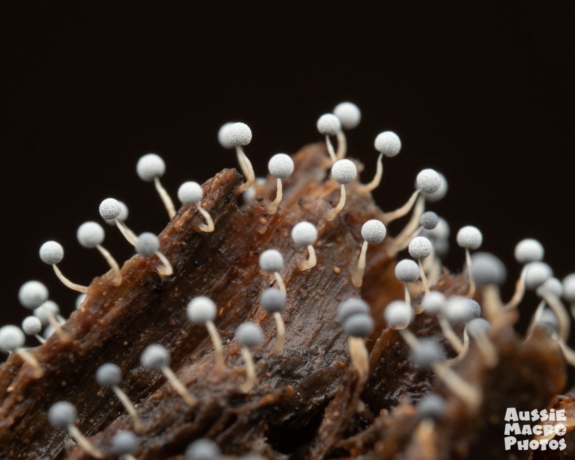 Close up of tiny round slime moulds Cairns Mushroom Photography