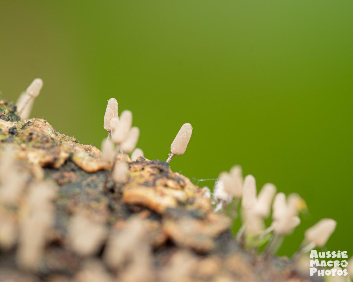 Closeup of baton like lifeform slime mould Cairns Mushroom Photography
