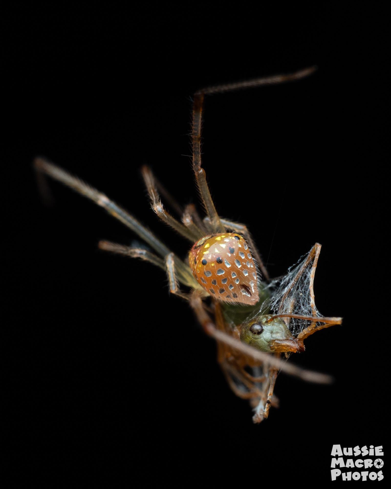 Mirrorball Spider (Thwaitesia sp.)