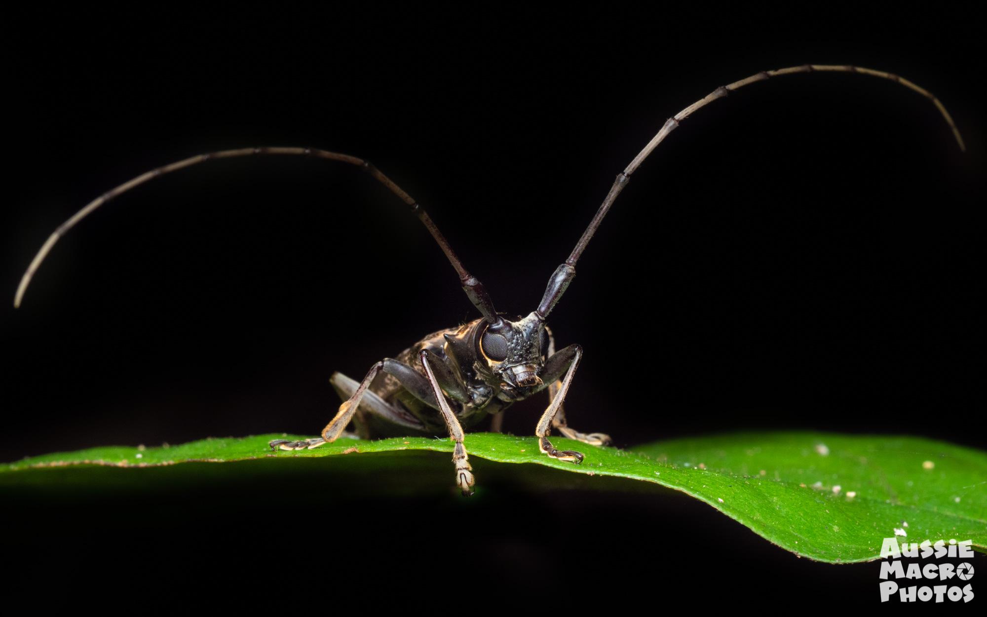 Longicorn Beetle Photography Tour Cairns