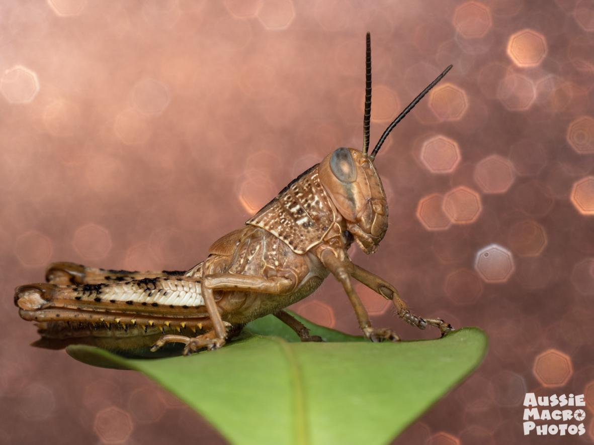 Champaign Grasshopper DISCO BUGS