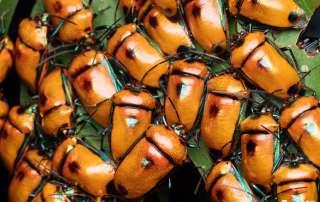 Jewel Bug (Calliphara regalis) aggregation Photography Tour Cairns