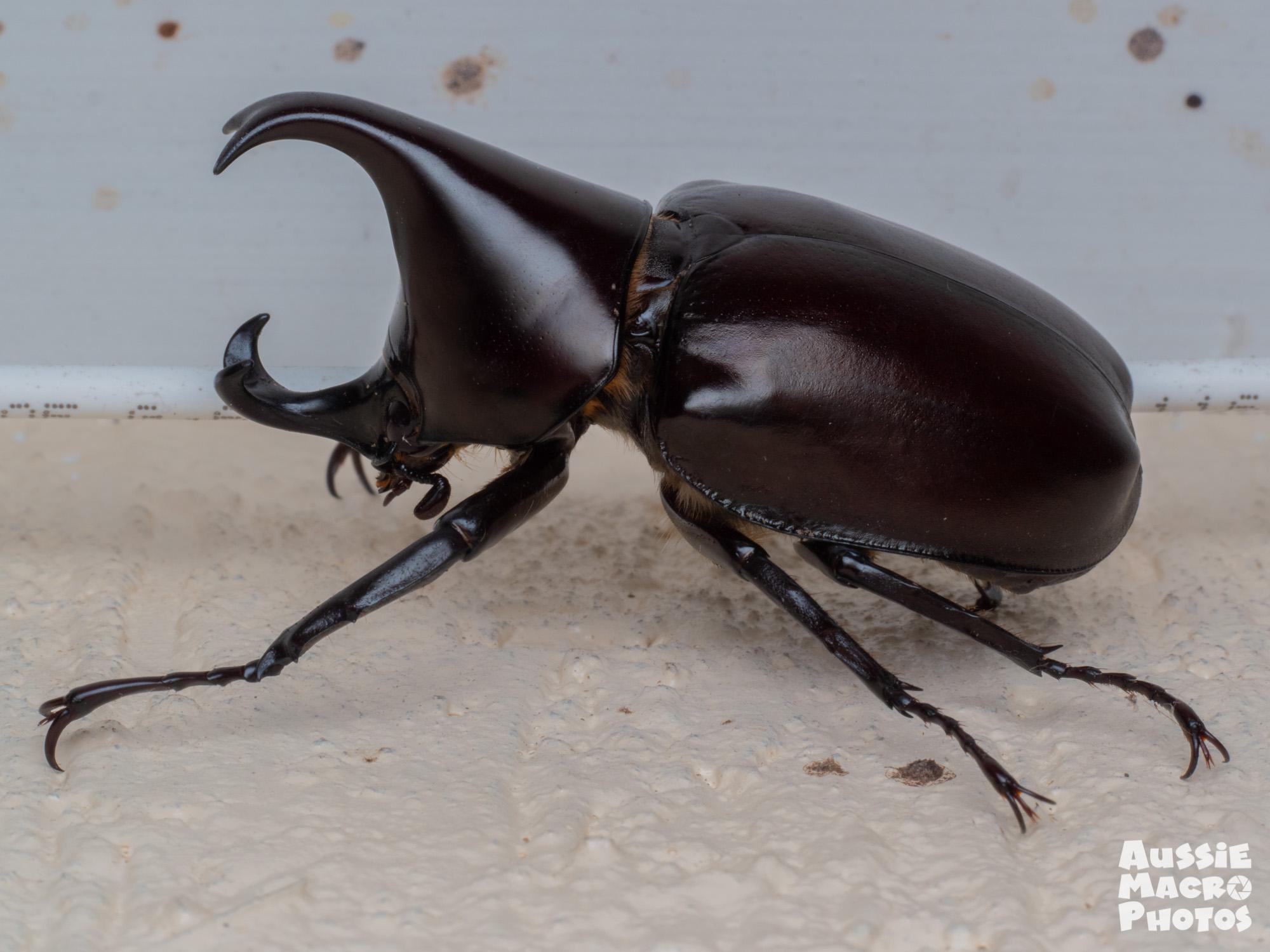 Male Rhinoceros Beetle
