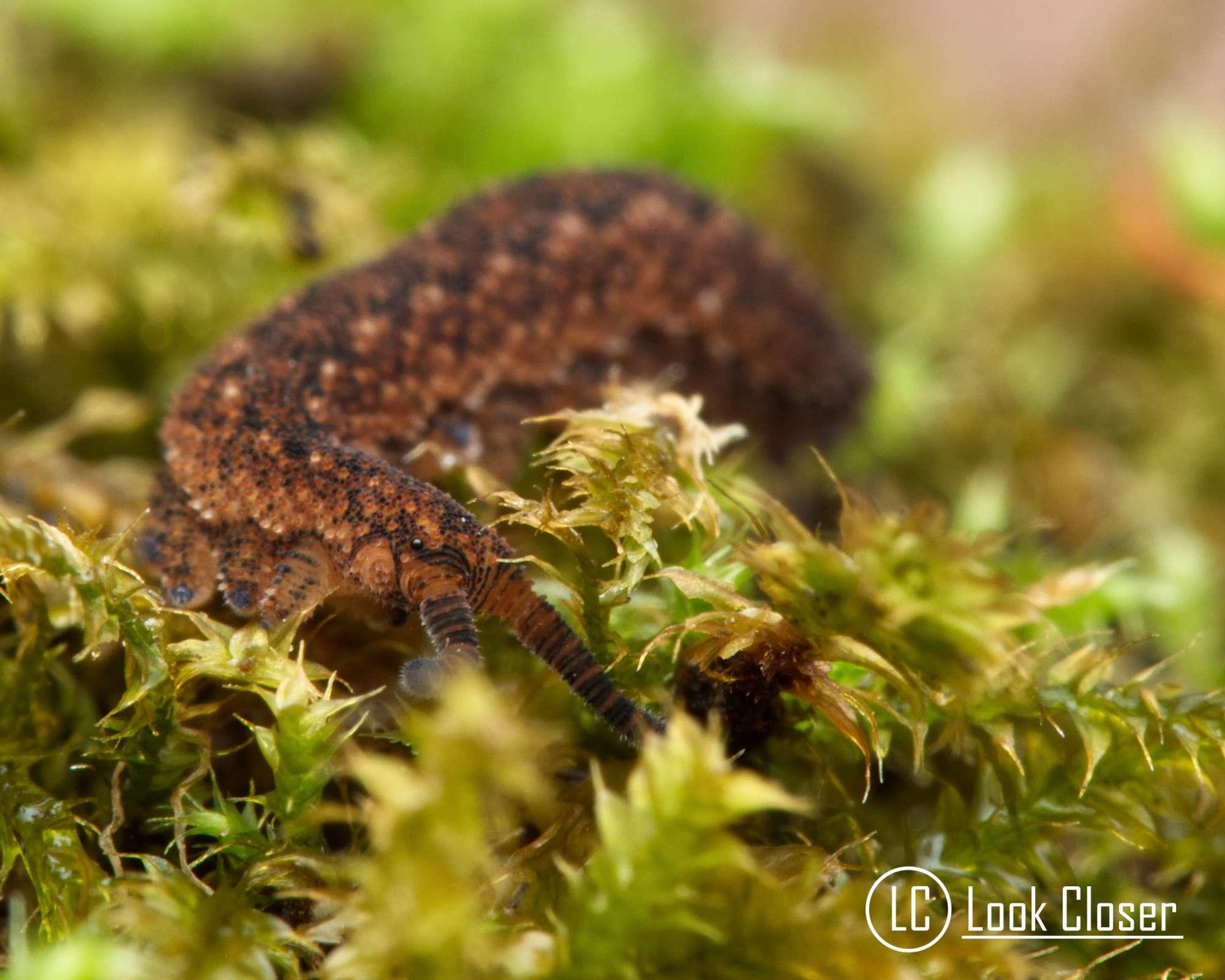 Velvet Worm in moss