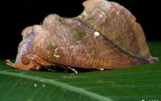 Fruit-sucking Moth on Let's Go Buggin Tours in Cairns Botanic Gardens
