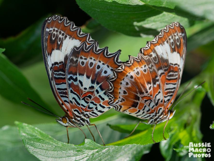 Mating Orange Lacewing Butterflies Cairns Botanic Gardens