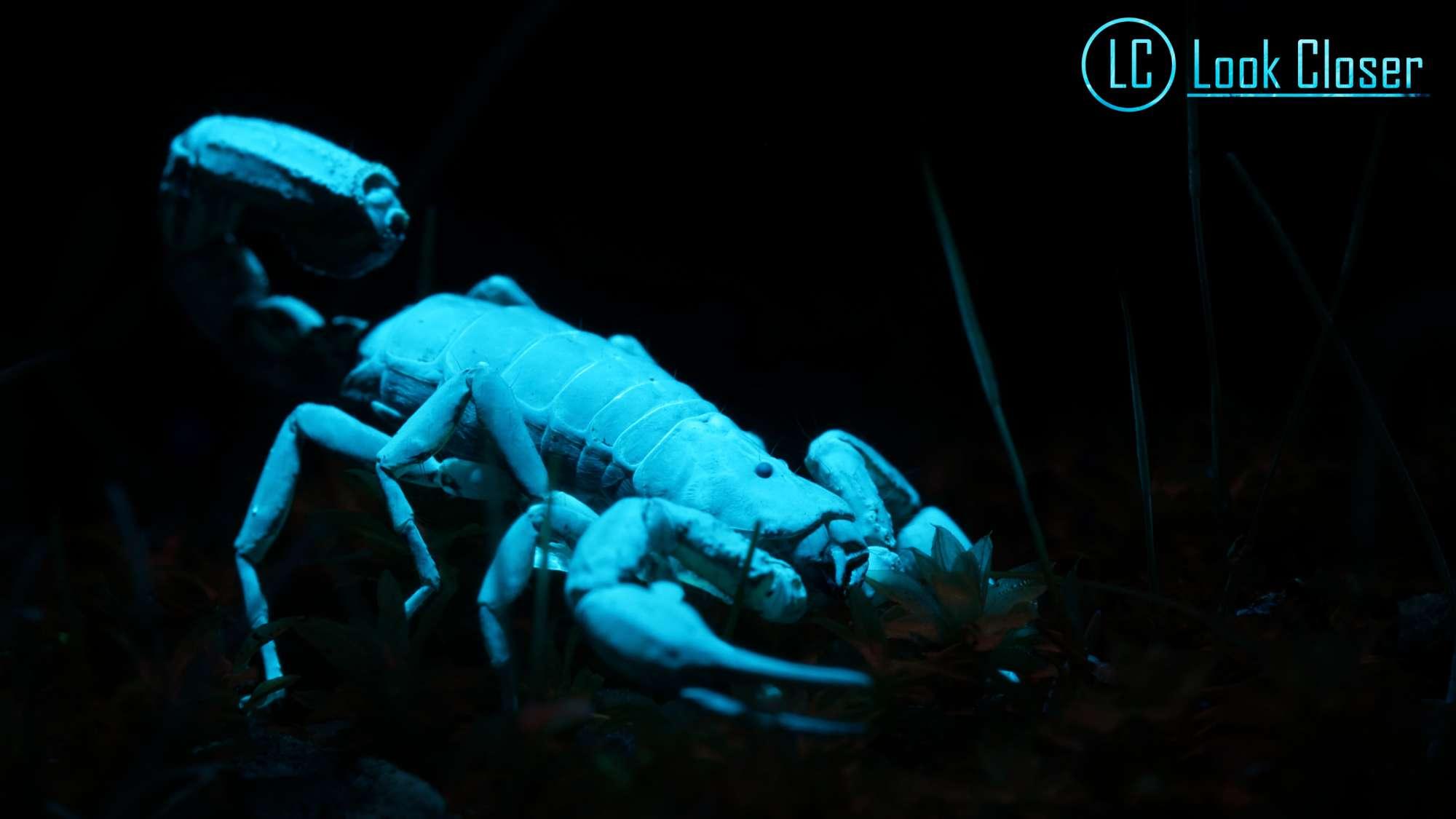 Scorpion photographed with UV light