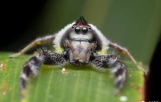 Male Mopsus mormon Jumping Spider on Let's Go Buggin tours in Cairns Botanic Gardens