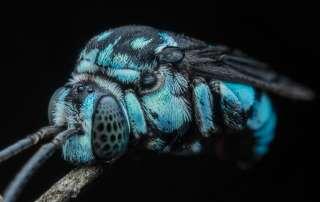 Bees Macro Photography closeup of Neon Cuckoo Bee (Thyrius nitidula)
