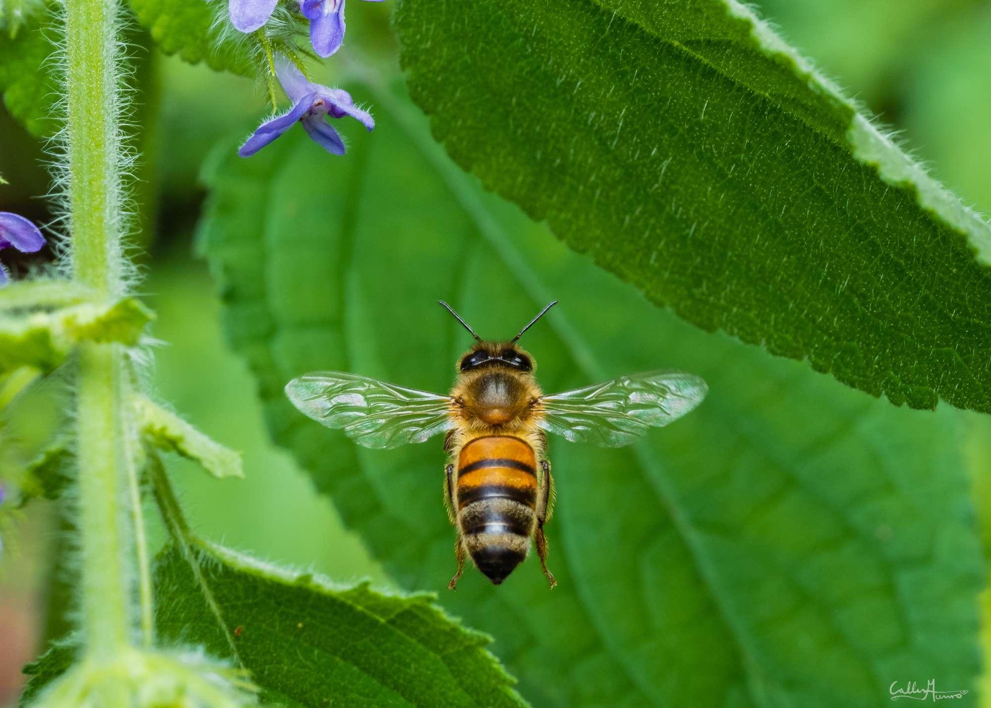 Bees Macro Photography closeup of European Honey Bees (Apis mellifera)