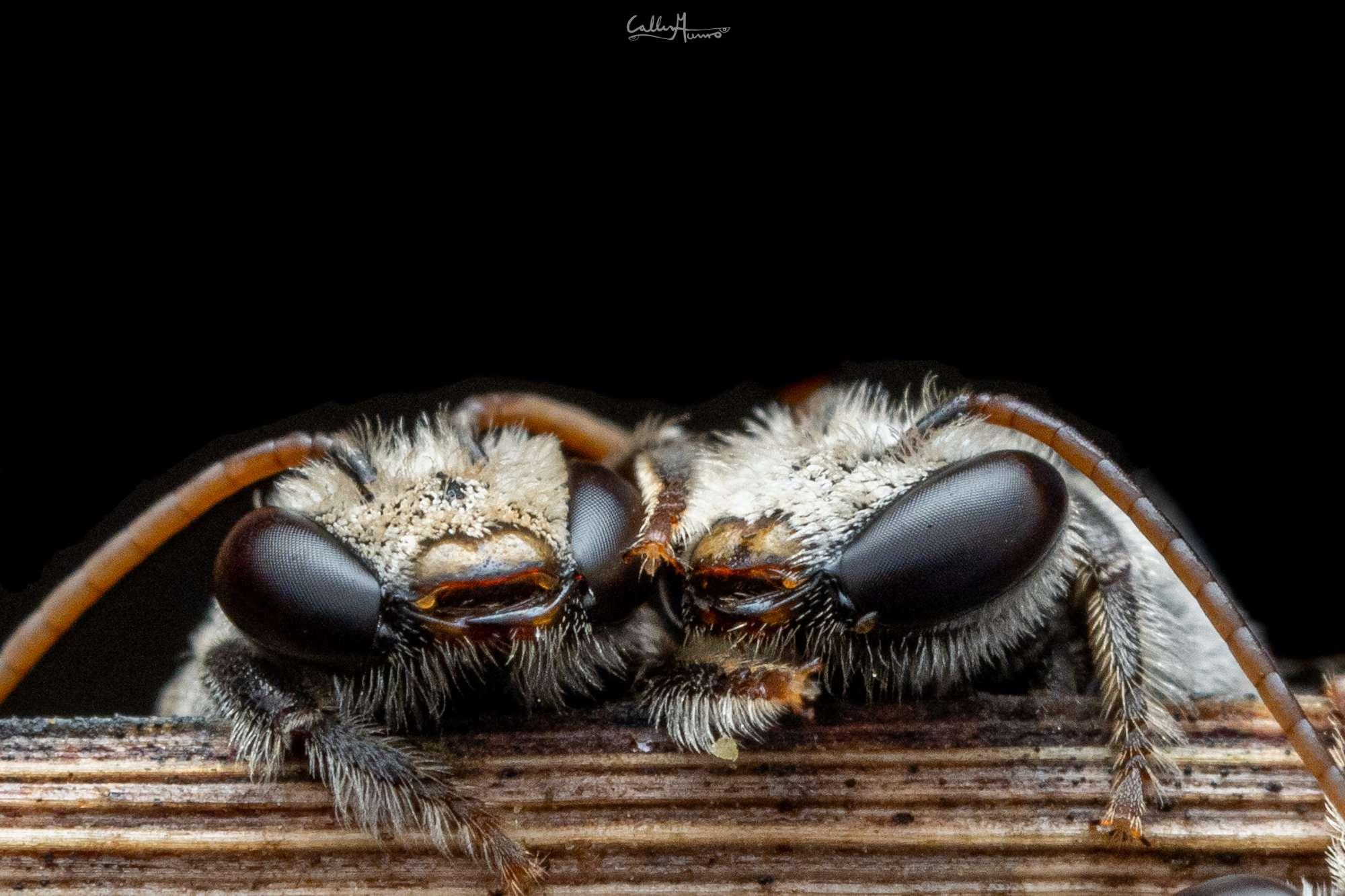 Bees Macro Photography closeup of Ctenocolletes species