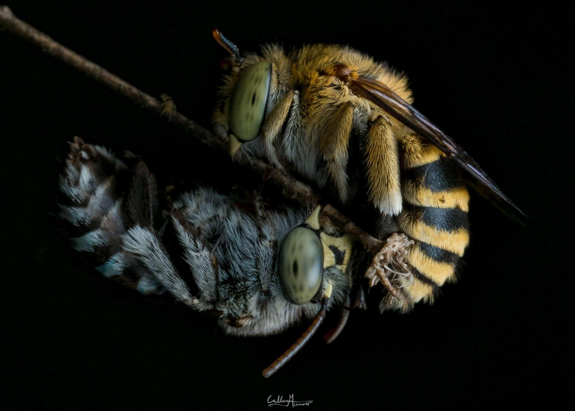 Blue-banded Bees Macro Photography Bee closeup