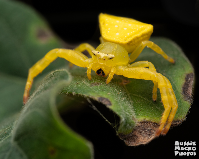 Spectacular Crab Spiders have a yellow colour morph