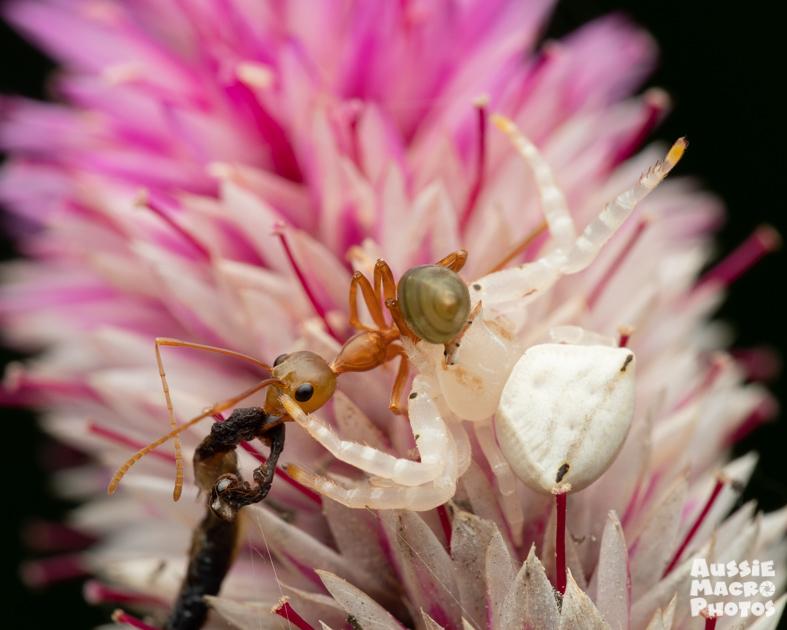 Spectacular Crab Spider with Green Ant © Bridgette Gower 2021 Aussie Macro Photos