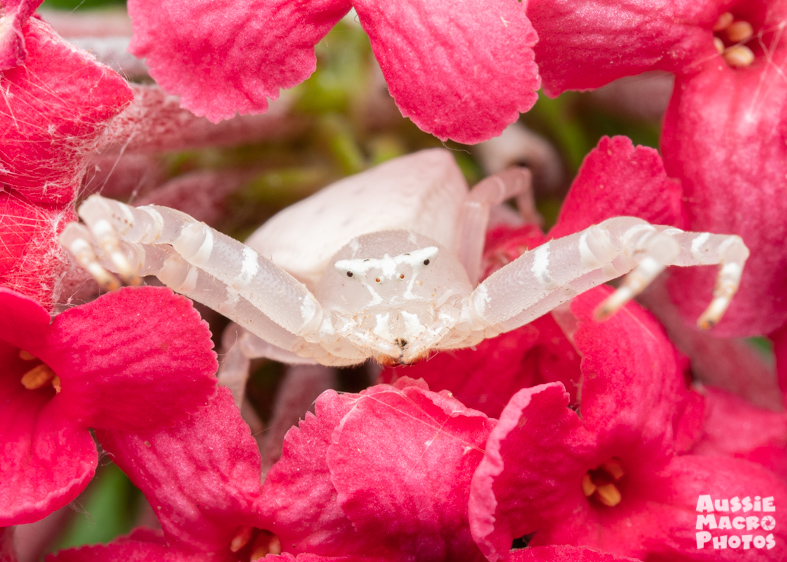 Spectacular Crab Spiders on flower