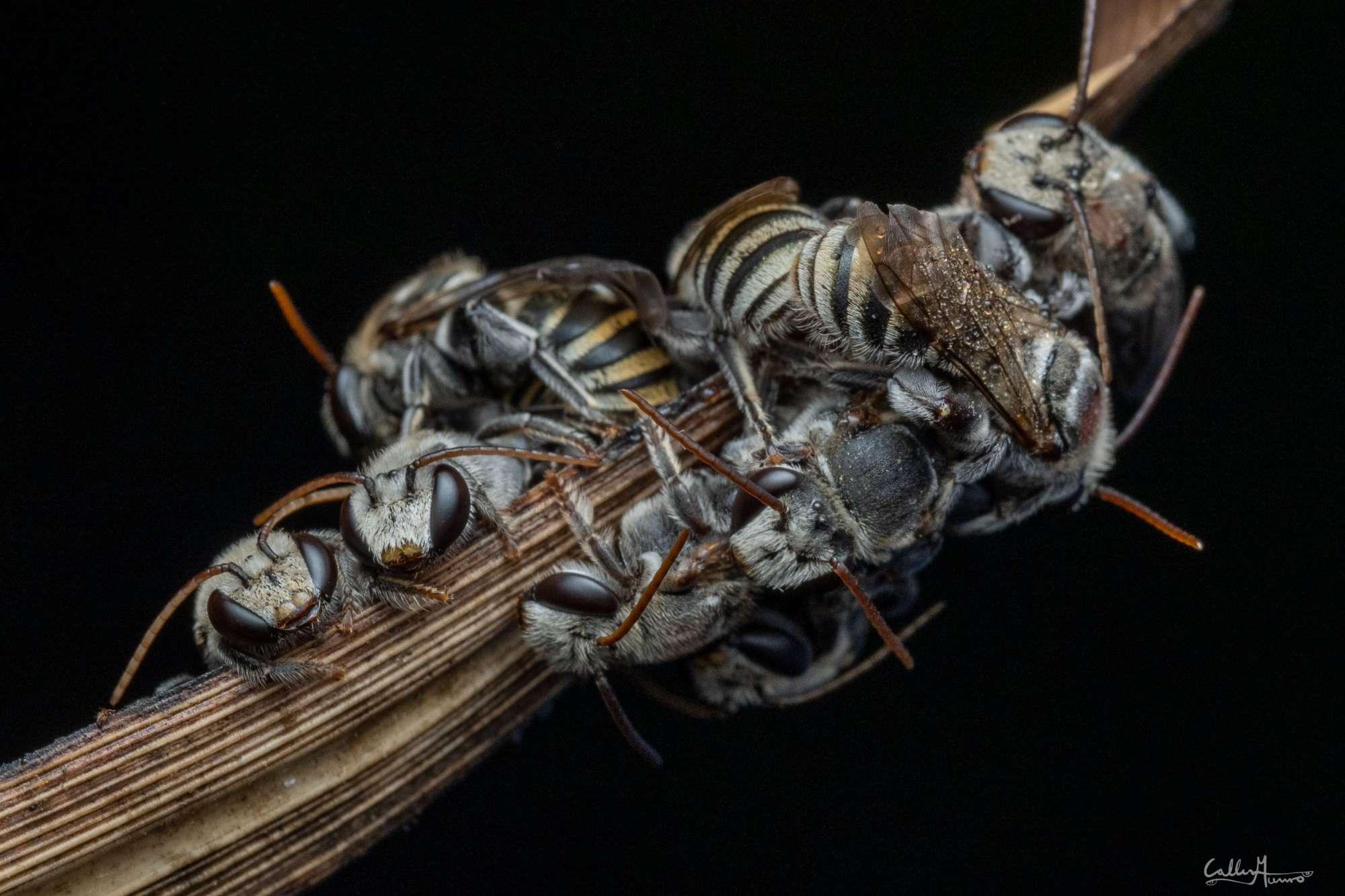 Macro Photography Bees closeup Ctenocolletes species