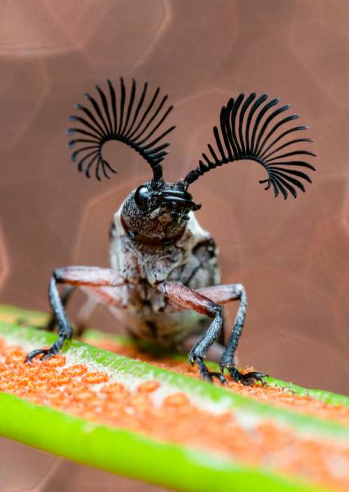 Featherhorn Beetle Rhipicera mystacina closeup bug art photograph greeting card