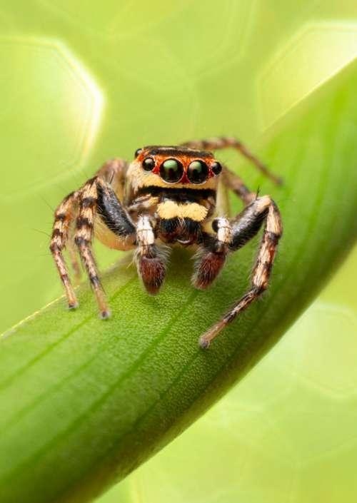 Green Jumping Spider Cytaea plumbeiventris male bug art photograph greeting card
