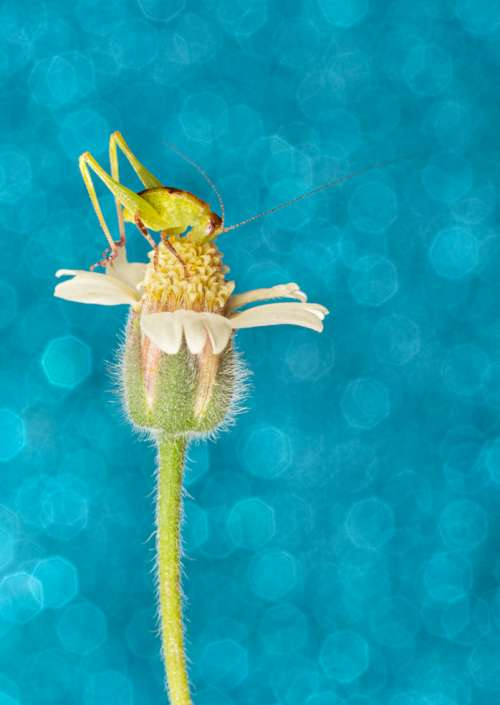 Katydid on flower and blue background bug art photograph greeting card
