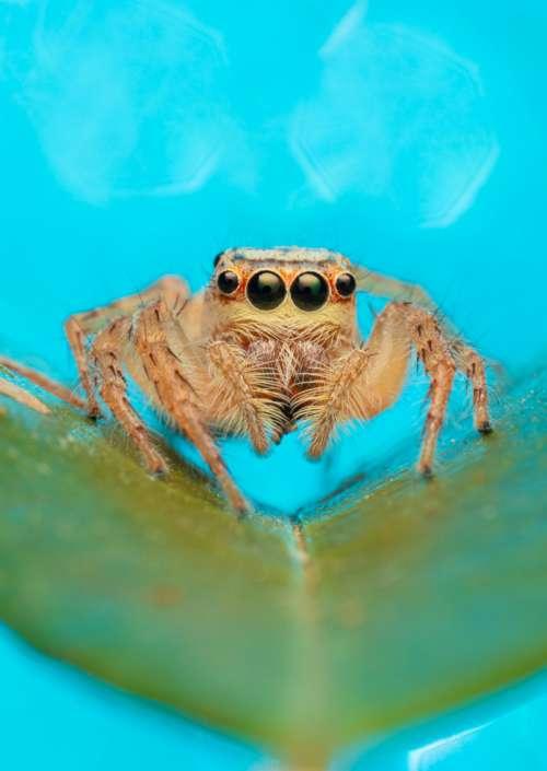 Cytaea plumbeiventris female jumping spider bug art photograph greeting card