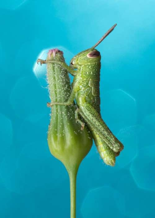 Blue Grasshopper Giant Grasshopper Valanga irregularis bug art photograph greeting card