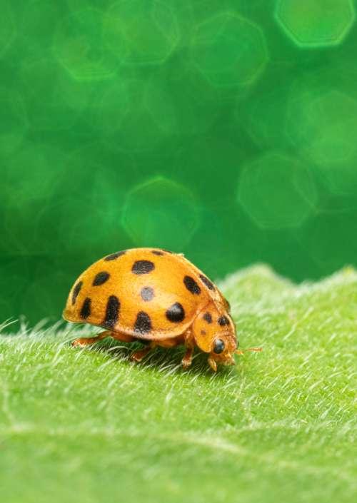 Green 28-Spotted Potato Ladybird Epilachna vigintioctopunctata bug art photograph greeting card