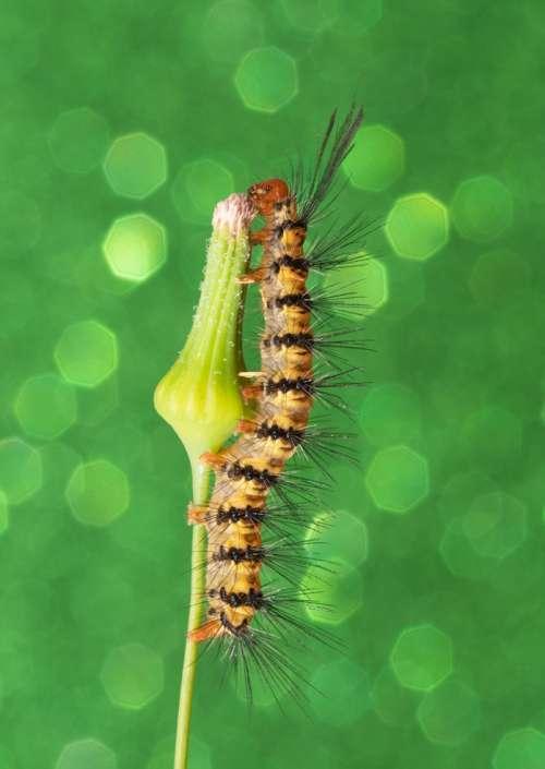 Green Caterpillar Tiger Moth bug art photograph greeting card